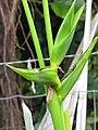 Starr-090617-1021-Heliconia sp-flowers-Haiku-Maui (24669887590).jpg