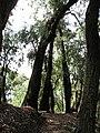 Starr-091115-1310-Eucalyptus sideroxylon-habit and trail-Olinda-Maui (24990202505).jpg