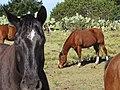 Starr-100302-3101-Opuntia ficus indica-habit with horse grazing near Tahoe-Kaonoulu Ranch Kula-Maui (24384317513).jpg