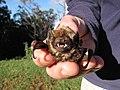 Starr-100907-9055-Eucalyptus sp-habitat with Hawaiian hoary bat Lasiurus cinereus semotus-Olinda-Maui (25024983726).jpg