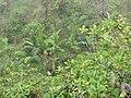 Starr-110722-7409-Musa x paradisiaca-Maia Maoli habit-Waihee Ridge Trail-Maui (24470327114).jpg