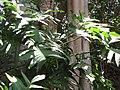 Starr-120522-6330-Monstera obliqua-habit-Iao Tropical Gardens of Maui-Maui (25143517225).jpg
