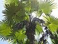 Starr-120522-6408-Coccothrinax sp-crown-Iao Tropical Gardens of Maui-Maui (24512989004).jpg