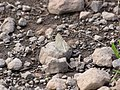 Starr-121031-0562-Ulex europaeus-habitat with bean butterfly Lampides boeticus mudding-Waikamoi Flume Rd-Maui (25195309325).jpg