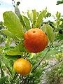 Starr-130504-4394-Citrofortunella microcarpa-fruit-Hawea Pl Olinda-Maui (25184312396).jpg