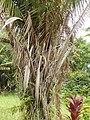 Starr-140222-0388-Elaeis guineensis-habit-Hana Hwy-Maui (25147449561).jpg
