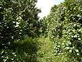 Starr-140909-1718-Hibiscus tiliaceus-thicket-Wailua-Maui (24950176140).jpg