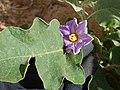 Starr-150325-0522-Solanum melongena-leaf flower-Residences Sand Island-Midway Atoll (25265911725).jpg