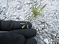 Starr-150402-0685-Poa annua-seedhead on abandoned runway-Northeast Eastern Island-Midway Atoll (25247474176).jpg