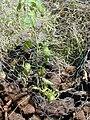 Starr 030424-0096 Hibiscus brackenridgei subsp. brackenridgei.jpg