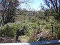 Starr 030702-0083 Plumbago auriculata.jpg