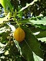 Starr 050216-4062 Pittosporum undulatum.jpg