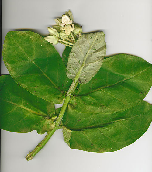 Manolita Flowers