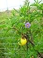 Starr 060225-8712 Solanum linnaeanum.jpg