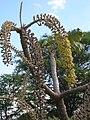 Starr 061106-9594 Munroidendron racemosum.jpg