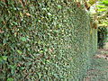 Starr 070123-3637 Ficus pumila.jpg