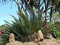 Starr 070306-5227 Cycas circinalis.jpg
