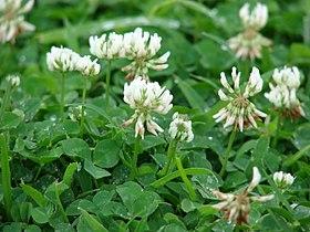 Starr 070313-5645 Trifolium repens.jpg