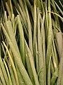 Starr 070730-7903 Allium fistulosum.jpg