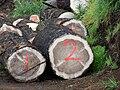 Starr 070908-9280 Pinus sp..jpg