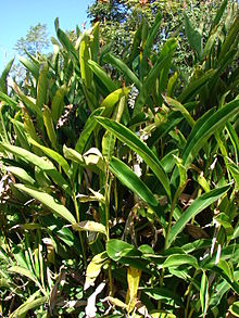 Narrow Bamboo Hedge