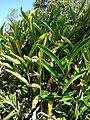 Starr 071024-9893 Alpinia zerumbet.jpg