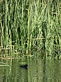 Starr 071227-1068 Typha sp..jpg