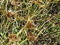 Starr 080601-5242 Cyperus polystachyos.jpg