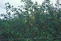 Starr 980827-1628 Solanum torvum.jpg
