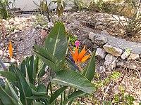 Strelitzia reginae from Kedumim 127.jpg