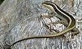 Striped Skink (Trachylepis striata) (5984468806).jpg