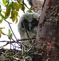 Stygian Owl Asio stygius. Chick - Flickr - gailhampshire.jpg