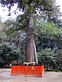 Sugi, Saginomori Jinja 20150219152404.jpg
