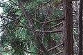 Sugi (Cryptomeria japonica), Nagata-ku, Kobe (22615368281).jpg