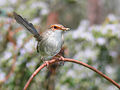 Superb Wren female444.jpg