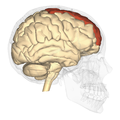 Superior frontal gyrus - lateral view.png