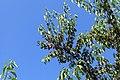 Surwold - Neubörgerstraße - Sandberg + Prunus serotina 10 ies.jpg