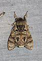 Suzukiana pallida (Notodontidae) (23133884202).jpg