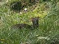 Sydlig pudu (6070797944).jpg
