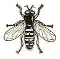 Syrphidae icon.jpg