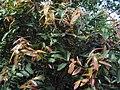 Syzygium mundakam 03.JPG
