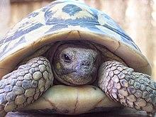 Turtle wikipedia cryptodires retract their neck backwards publicscrutiny Gallery