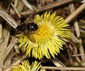 Tachina ursina - male - Flickr - S. Rae.jpg