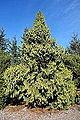 Taiwania cryptomerioides - Mendocino Coast Botanical Gardens - DSC02059.JPG