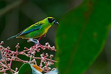 Tangara schrankii, Green-and-gold Tanager.jpg