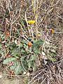 Taraxacum serotinum sl69.jpg