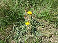 Taraxacum serotinum sl91.jpg