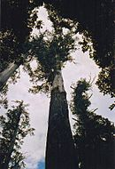 Mountain Ash, worlds tallest flowering plant.