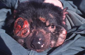 Тасманийский дьявол, больной DFTD