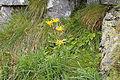 Tatry – Omieg kozłowiec (doronicum clusii).jpg